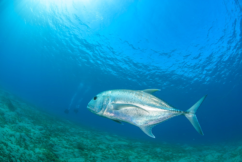 Giant trevally (Caranx ignobilis) swimming above sea grass field, Naama Bay, Ras Mohammed National Park, Sharm El Sheikh, Red Sea, Egypt, North Africa, Africa - 974-401