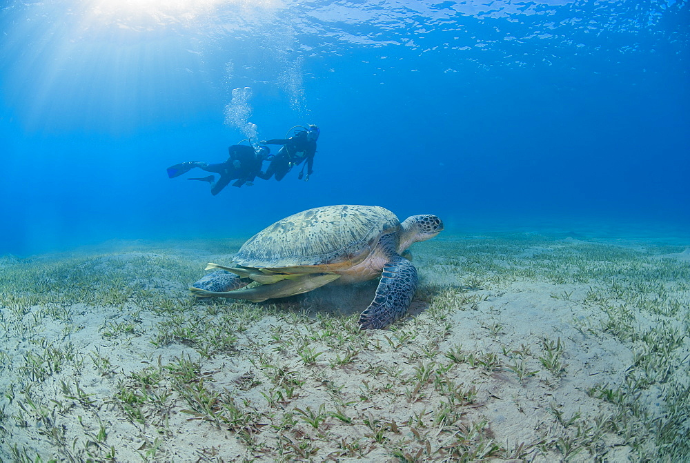 Green sea turtle (Chelonia mydas) resting on sea grass with on-looking scuba divers, Naama Bay, Ras Mohammed National Park, Sharm El Sheikh, Red Sea, Egypt, North Africa, Africa - 974-402
