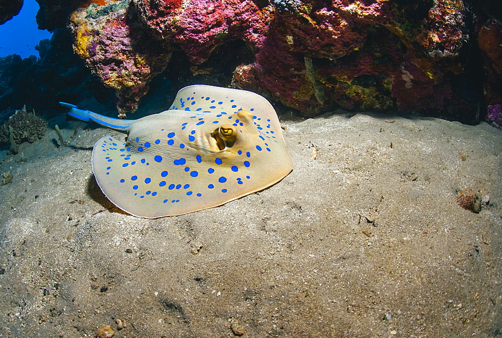 Bluespotted stingray (Taeniura lymma), front side view, Naama Bay, Sharm El Sheikh, Red Sea, Egypt, North Africa, Africa - 974-403