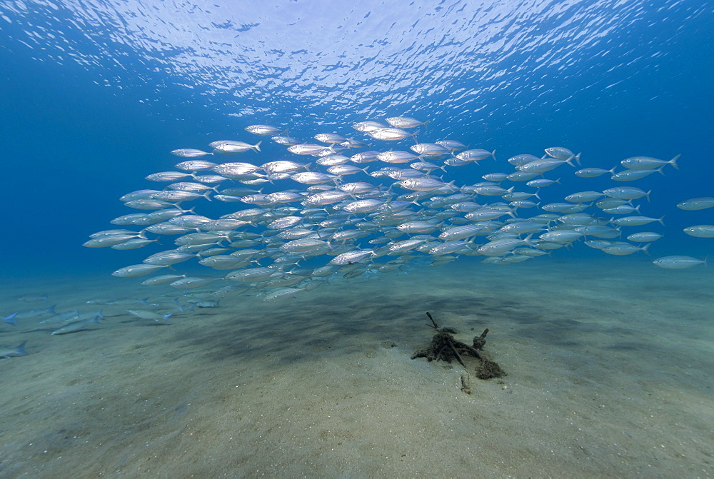 Small school of Indian mackerel (Rastrelliger kanagurta) in shallow water, Naama Bay, Sharm El Sheikh, Red Sea, Egypt, North Africa, Africa - 974-406
