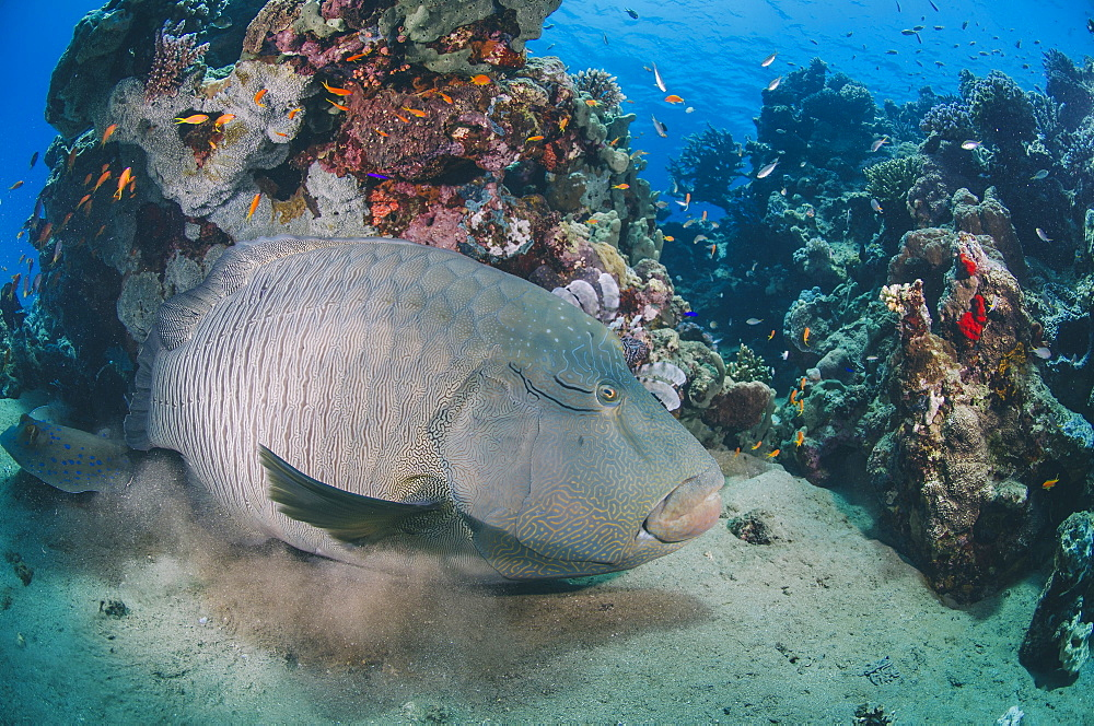 Napoleon wrasse (cheilinus undulatus) juvenile, an endangered species, Naama Bay, Sharm El Sheikh, Red Sea, Egypt, North Africa, Africa - 974-420