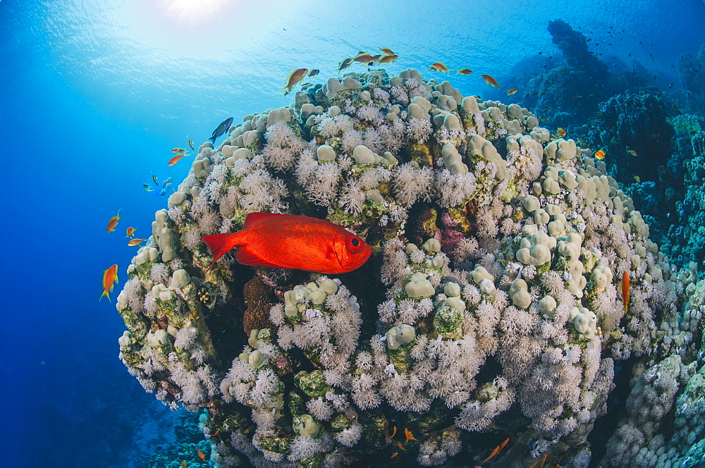 Common bigeye (Priacanthus hamrur), sheltering next to coral reef, Ras Mohammed National Park, Red Sea, Egypt, North Africa, Africa - 974-429
