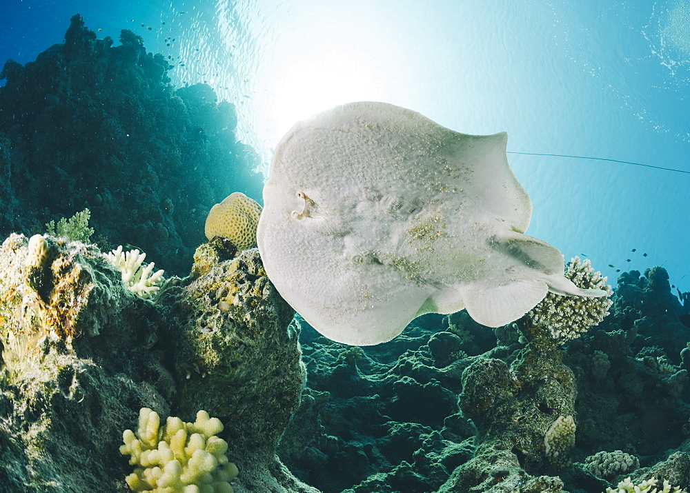 Leopard torpedo ray (Electric ray) (Torpedo panthera), underside view, back-lit by the sun, Ras Mohammed National Park, Sharm El Sheikh, Red Sea, Egypt, North Africa, Africa - 974-431