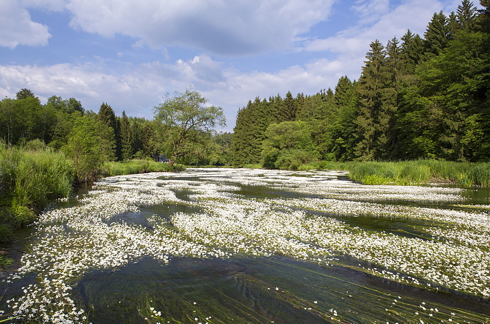Water crowfoot (Ranunculus fluitans), The Semois River, Semois Valley, Belgian Ardennes, Wallonia region, Belgium, Europe - 974-437