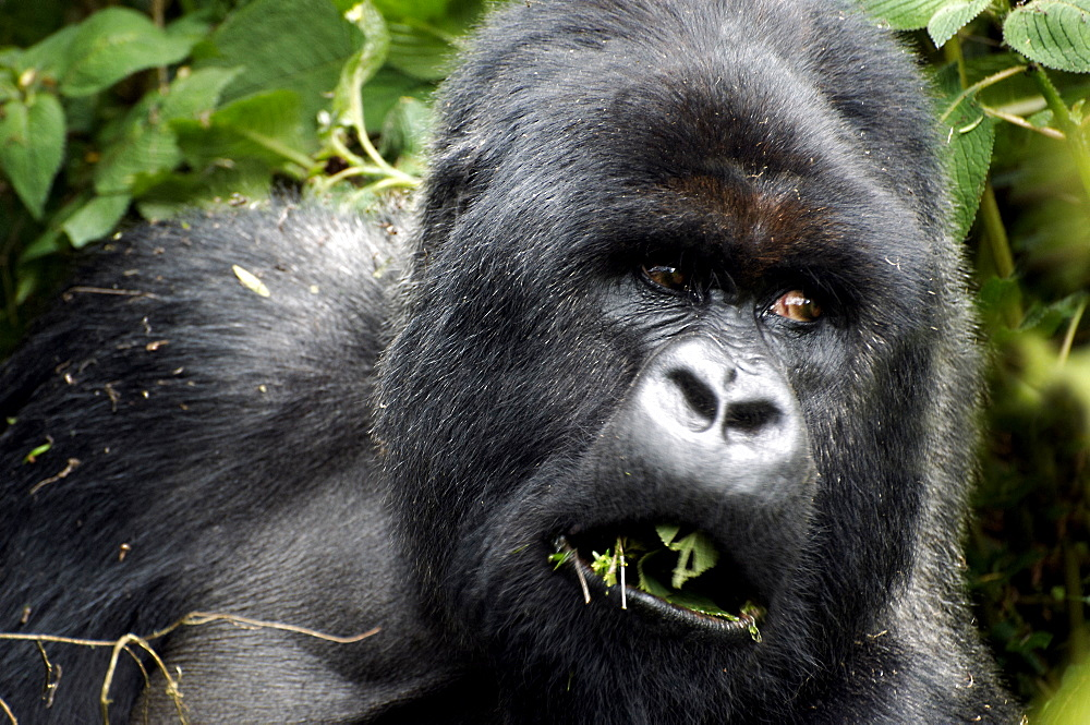 Mountain Gorilla distracted while eating in the Volcanoes National Park, Rwanda. Volcanoes National Park, Virunga mountains, Rwanda, East Africa