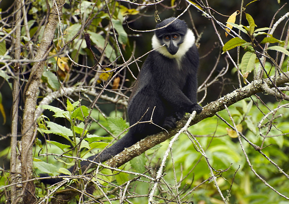 L'Hoest's Monkey (Cercopithecus lhoesti), or Mountain Monkey, is a guenon found in the upper eastern Congo basin. They mostly live in mountainous forest areas in small, female-dominated groups. They have a dark coat and can be distinguished by a characteristic white beard. Gikongoro, Rwanda, East Africa