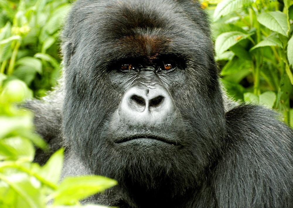 Sliverback Mountain Gorilla sitting amongst the vegetation of the Volcanoes National Park Rain forest, Rwanda. Volcanoes National Park, Virunga mountains, Rwanda, East Africa