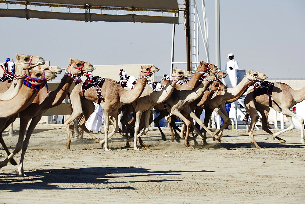 Camel racing at Al Shahaniya race track, 20km outside Doha, Qatar, Middle East - 975-234