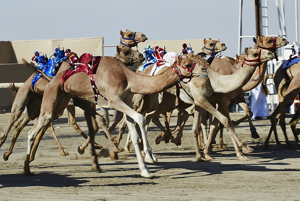 Camel racing at Al Shahaniya race track, 20km outside Doha, Qatar, Middle East - 975-236