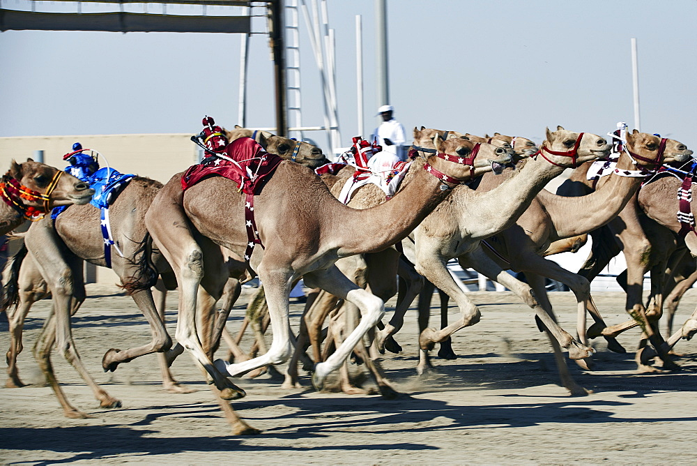Camel racing at Al Shahaniya race track, 20km outside Doha, Qatar, Middle East - 975-237