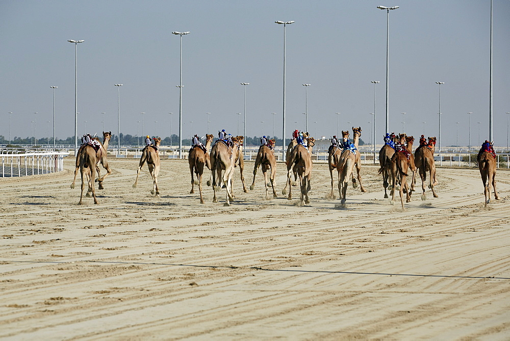 Camel racing at Al Shahaniya race track, 20km outside Doha, Qatar, Middle East - 975-238