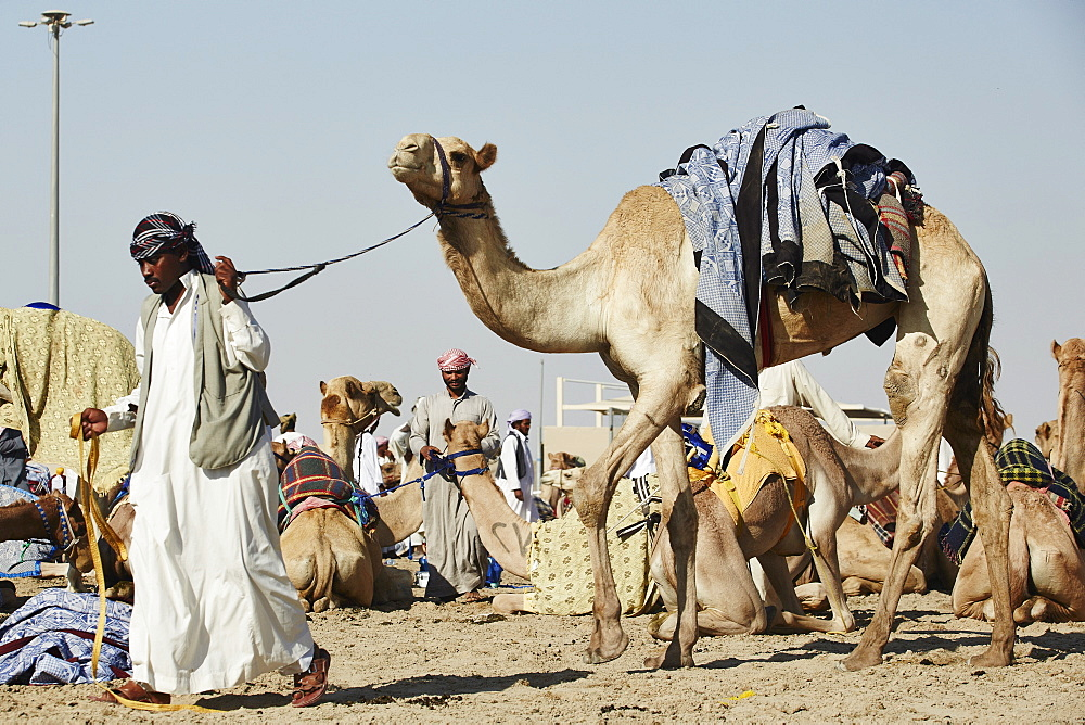 Camel Racing at Al Shahaniya race track, 20km outside Doha, Qatar, Middle East - 975-240