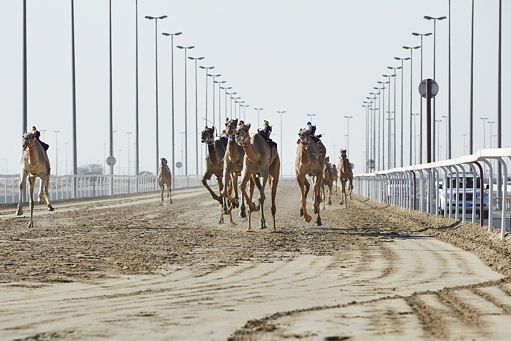 Camel racing at Al Shahaniya race track, 20km outside Doha, Qatar, Middle East - 975-241