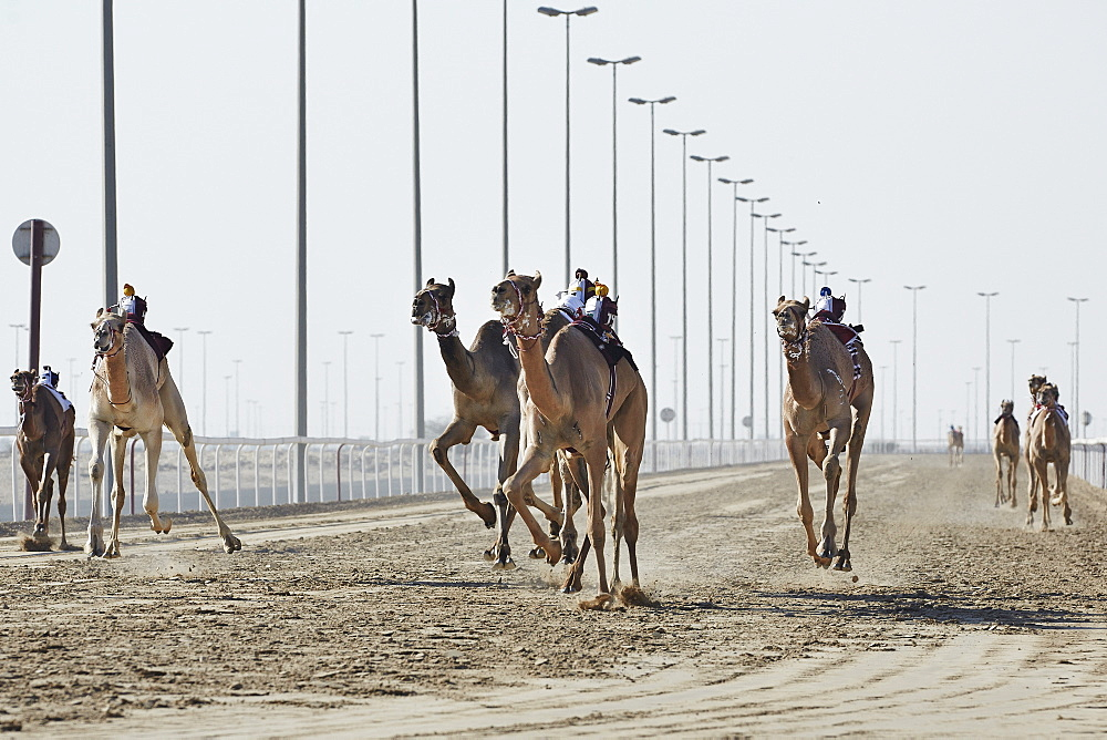 Camel racing at Al Shahaniya race track, 20km outside Doha, Qatar, Middle East - 975-242