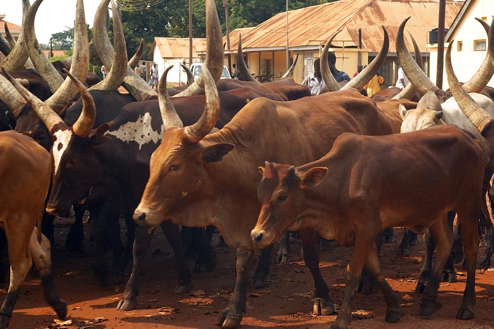A herd of cattle walk through the streets of Gulu Town, Northwest Uganda. Gulu Town, Uganda, East Africa