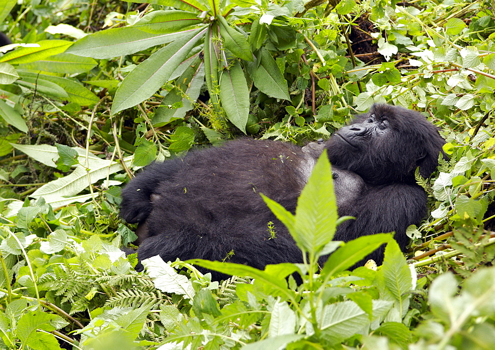 One of the older female Gorillas of the Band, is very relaxed in the rainforrest undergrowth of Volcanoes National Park, Rwanda and finds time to have a sleep. . Volcanoes National Park, Virunga mountains, Rwanda, East Africa