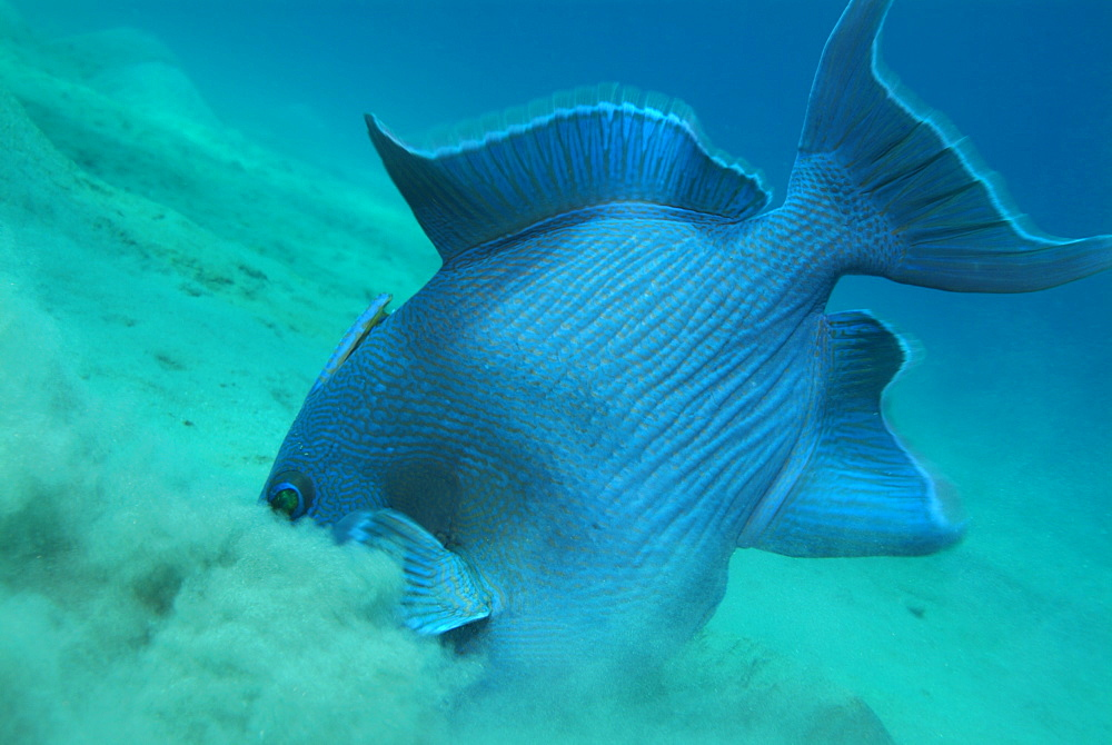 Blue triggerfish. Red Sea.