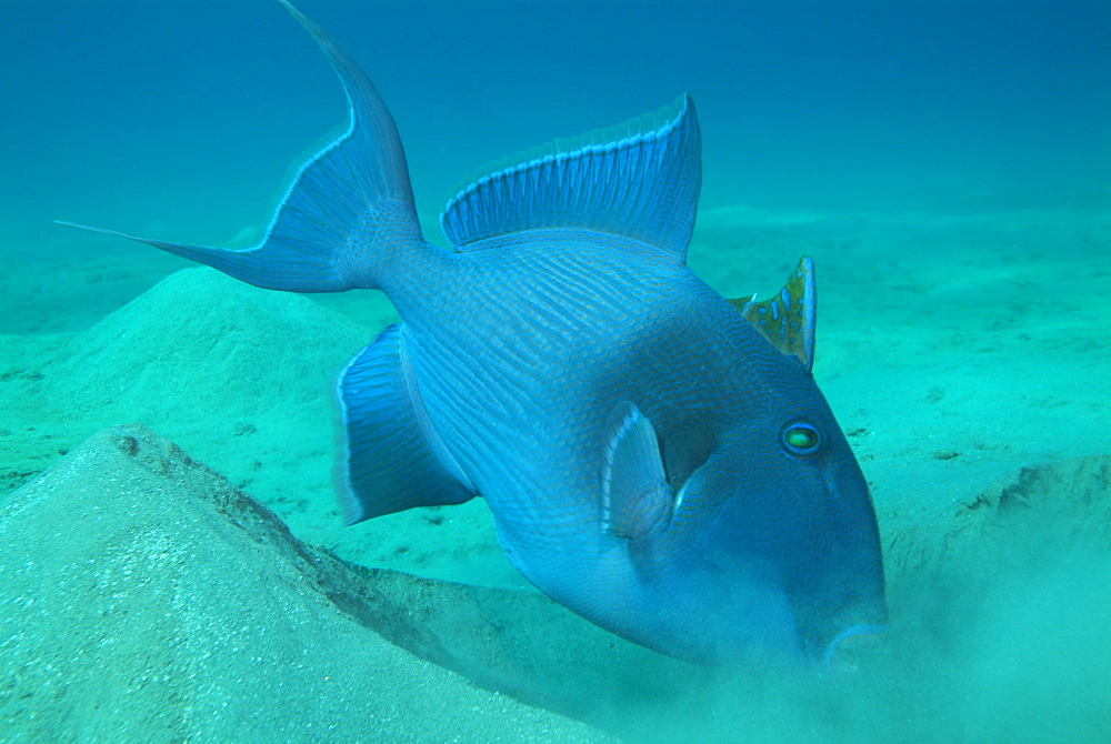 Blue triggerfish. Red Sea. - 978-101