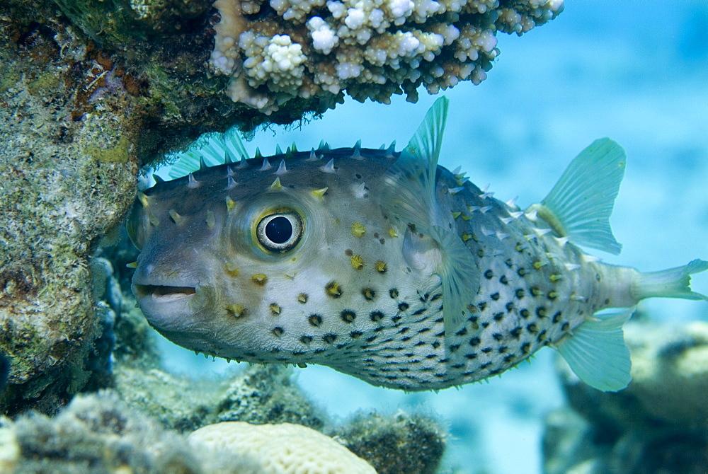 Yellowspotted Burrfish (Cyclichthys spilostylus). Red Sea.