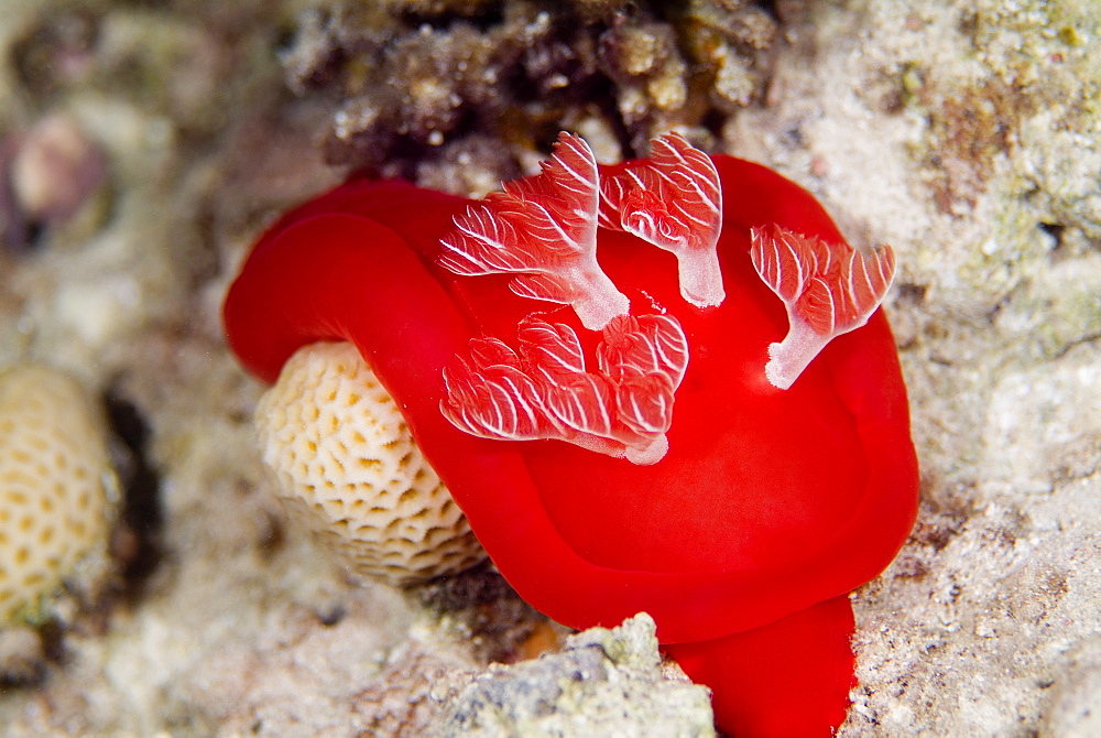 Spanish Dancer (Hexabranchus sanguineus) Spectacular and largest of the nudibranchs (naked gills) and are reported to reach up to 50 cms in length. Nocturnal. Red Sea.