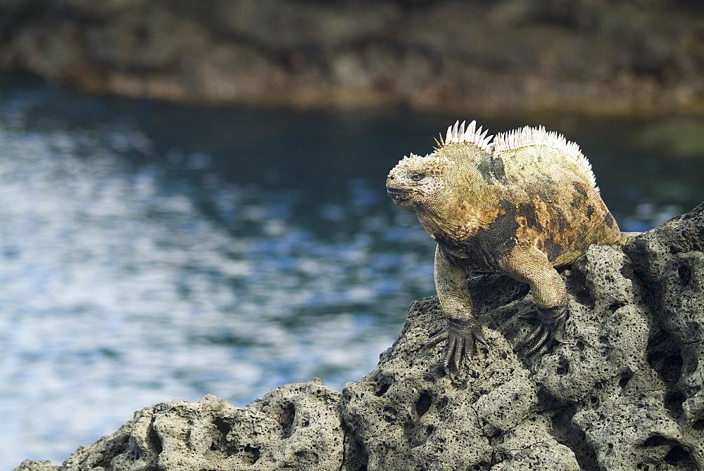 Galapagos marine iguana (Amblyrhynchus cristatus). Galapagos.   (rr)