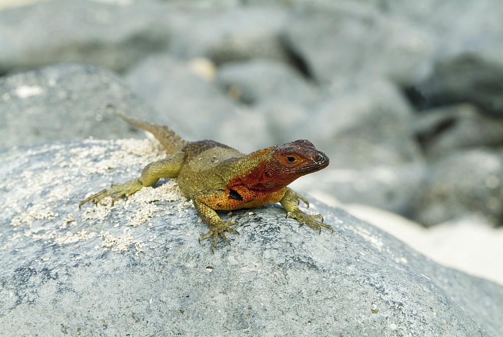 Galapagos lava lizard (Microlophus albemarlensis). Galapagos.   (rr)