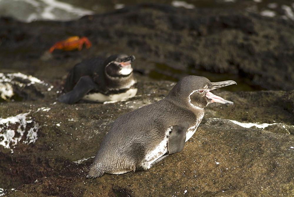 Galapagos penguin (Spheniscus mendiculus). Galapagos.   (rr)