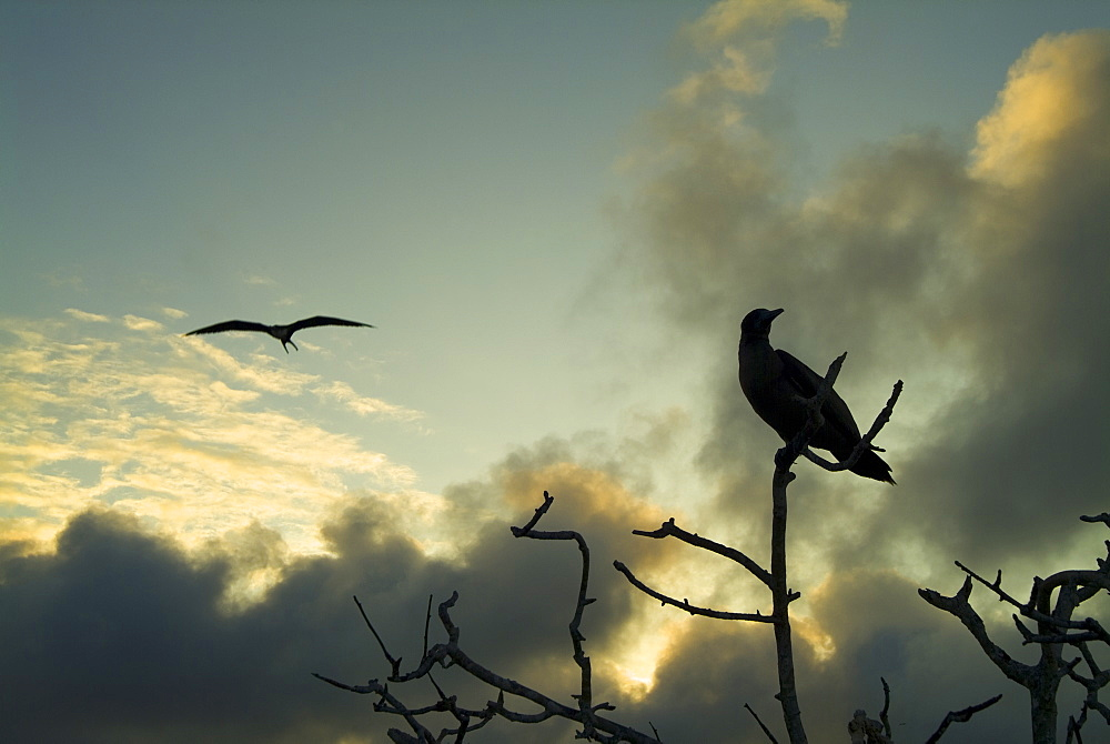 Sunset clouds in background booby in tree. Galapagos.
