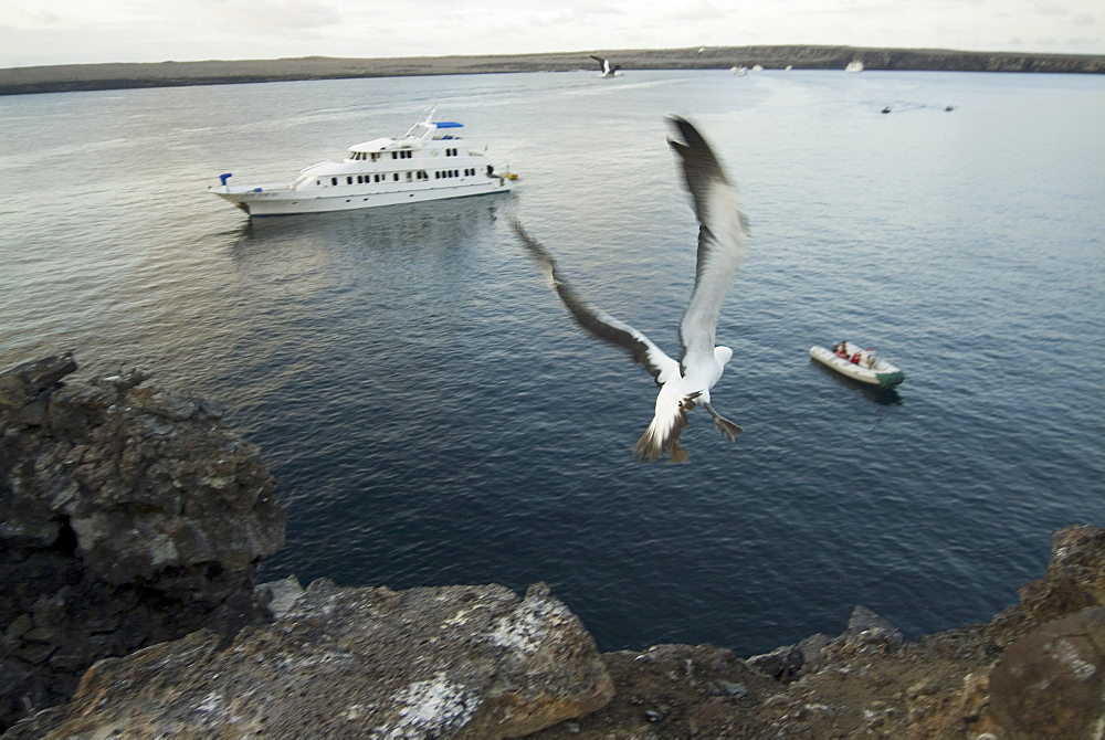 Nazca booby (Sula dactylatra) launching from cliff over boat. Galapagos.   (rr)