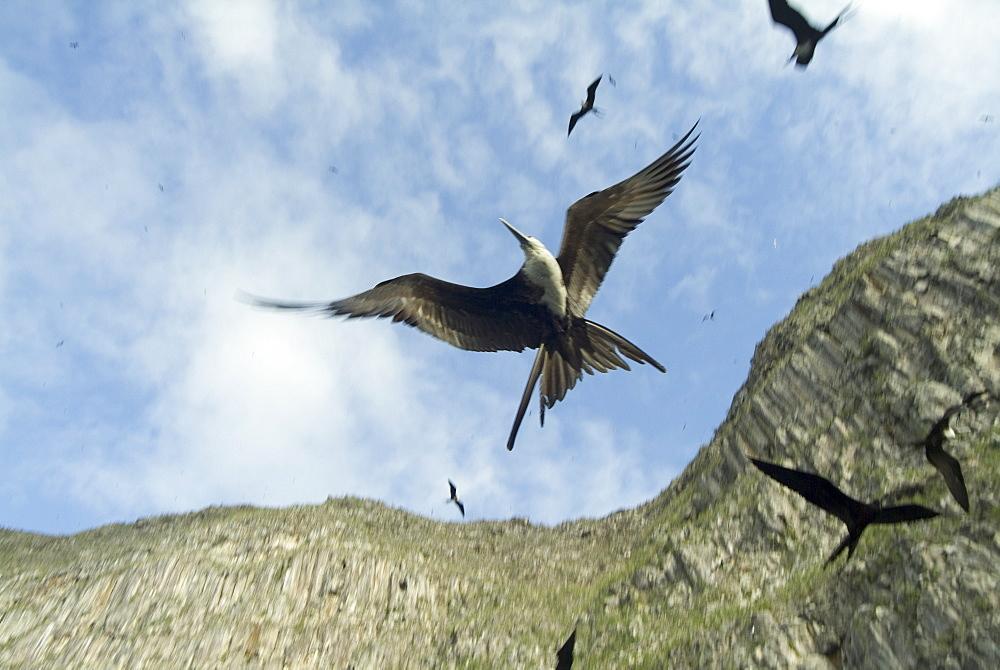 Magnificent frigatebirds (Fregata magnificens). Galapagos.   (rr)