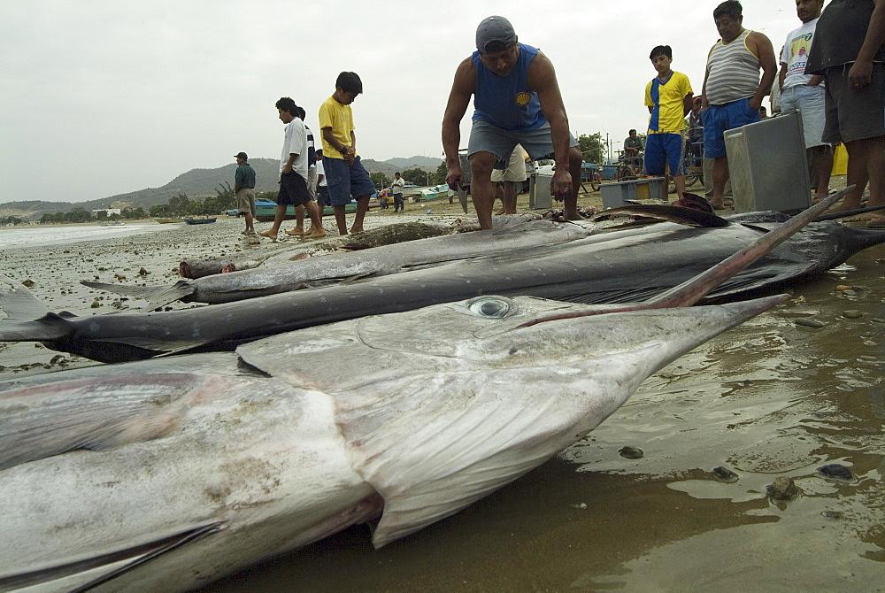 Various types of billfish. Uncontrolled fishing in Ecuador.