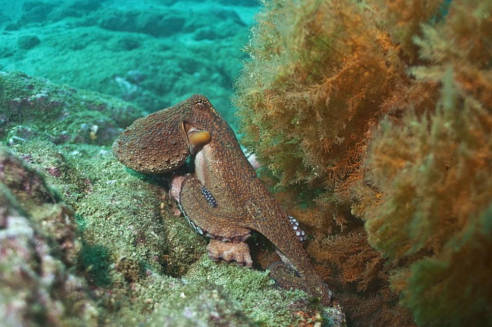 Pacific octupus. Ecuador