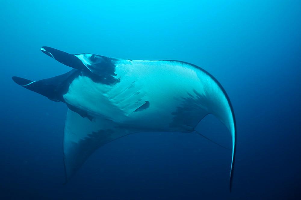 Pelagic Manta Birostris or Giant Manta Ray. Ecuador