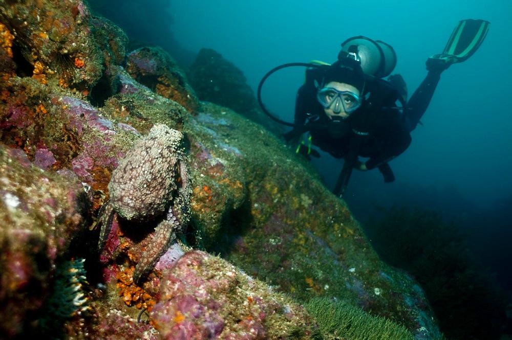 Diver and pacific octopus. Ecuador