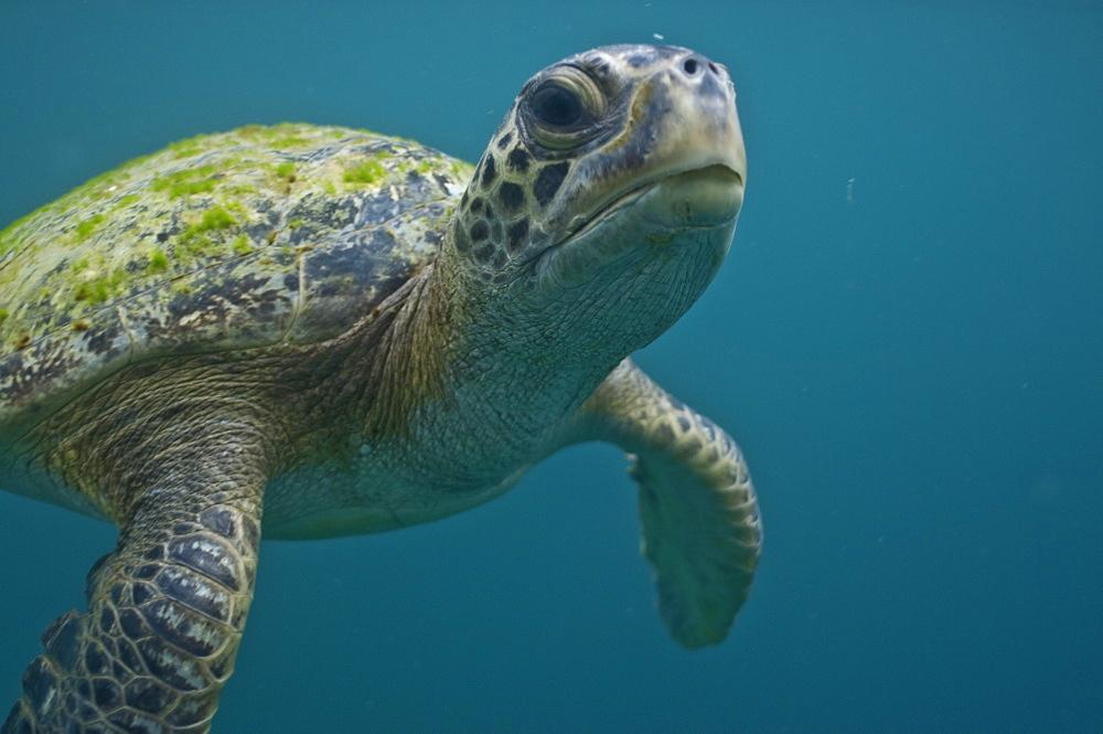 Green Sea Turtle Chelonia mydas. Ecuador