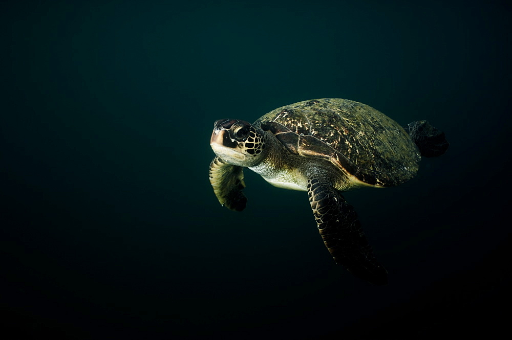 Green Sea Turtle Chelonia mydas. Ecuador - 978-327
