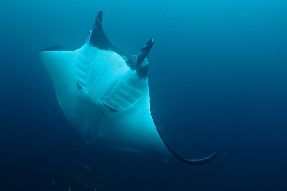 Pelagic Manta Birostris or Giant Manta Ray. Ecuador.  - 978-330