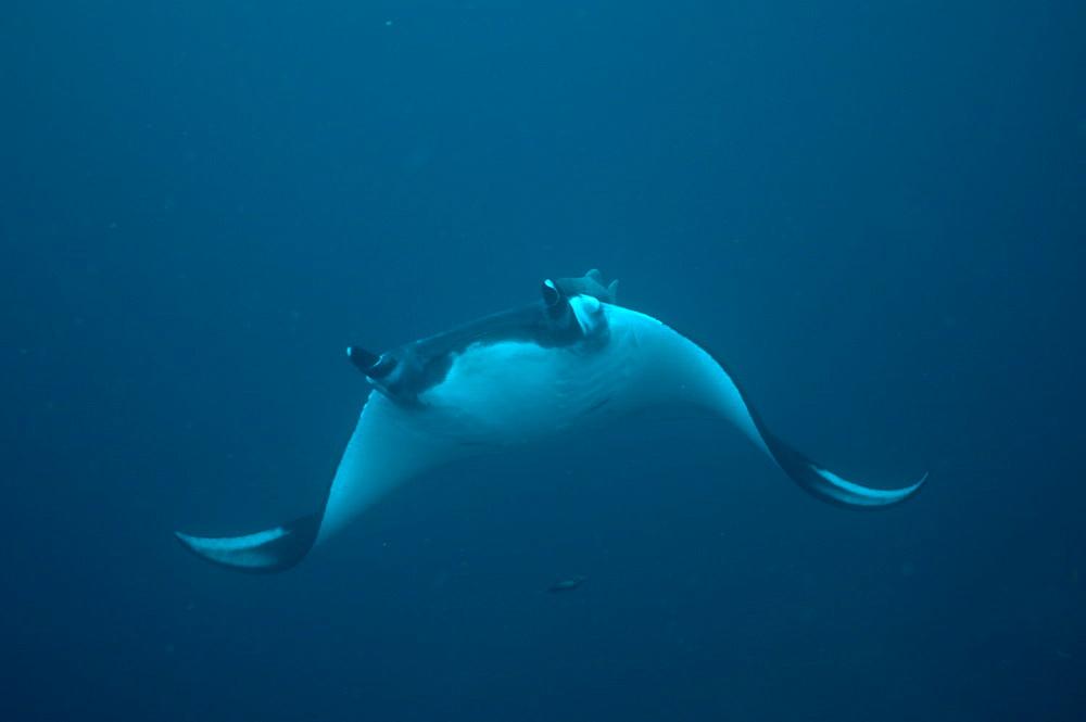Pelagic Manta Birostris or Giant Manta Ray. Ecuador.  - 978-331
