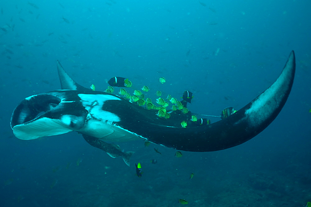 Manta Birstris showing cleaning station activity. Observations part of porject elasmo, conservation project in Ecuador.