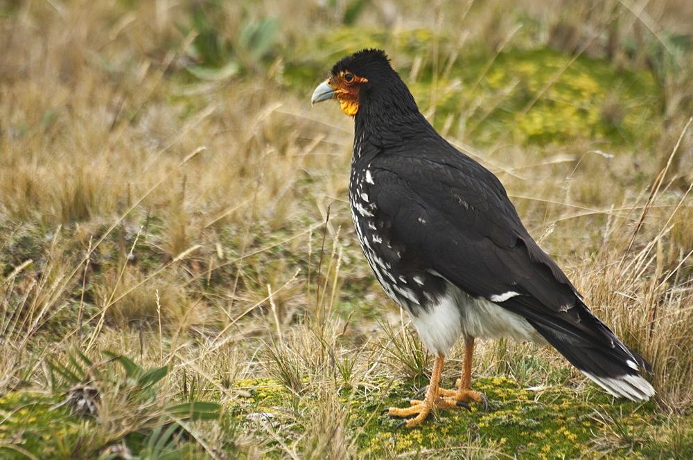 Prey Bird, Ecuador.