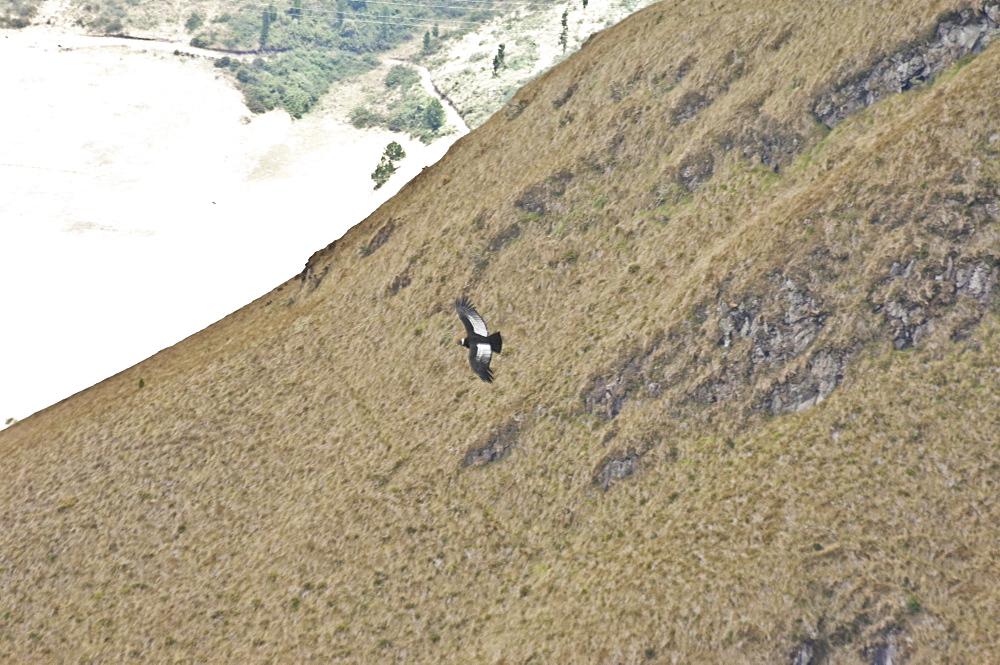 Distant Condor on Volcano Imbabura, Ecuador.
