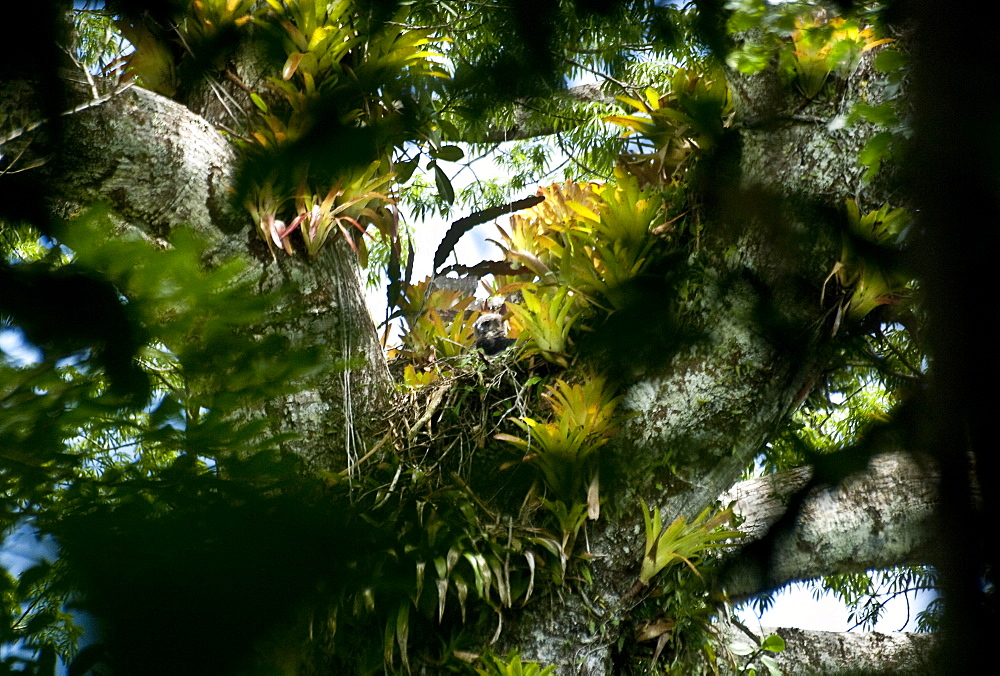 Harpie Eagle, Amazon, Ecuador.