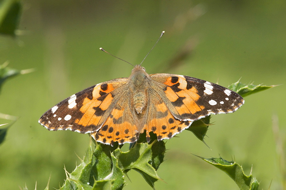 Painted lady butterflies. Isle of White, UK. Isle of White, UK - 978-402