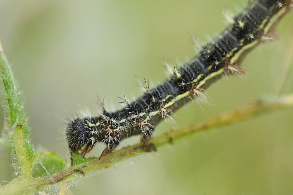 As the caterpillars grow, they leave their silk protection and continue feeding until they are large and mature enough to seek somewhere safe to change into chrysalis.. Isle of White, UK. Isle of White, UK