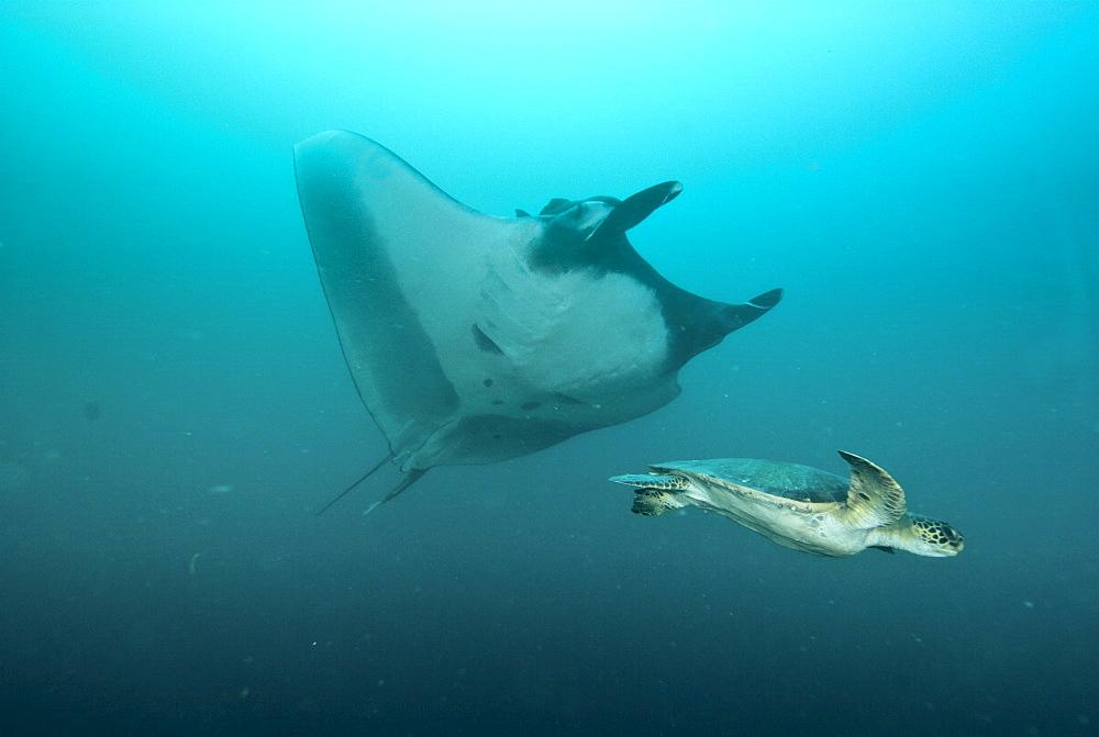 Green Sea Turtle (Chelonia mydas)  and Giant Manta Ray (manta birostris). Pacific Ocean, Ecuador