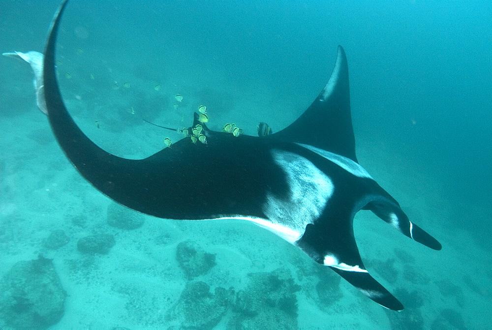 Giant manta ray, Isla de la Plata Ecuador. Portrait shot of Manta birostris approaching camera. Pacific Ocean, Ecuador