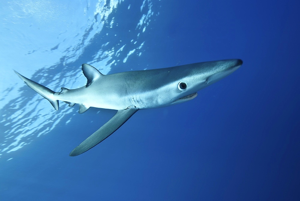 Blue shark (Prionace glauca) in the Azores, Portugal, Atlantic, Europe - 978-449