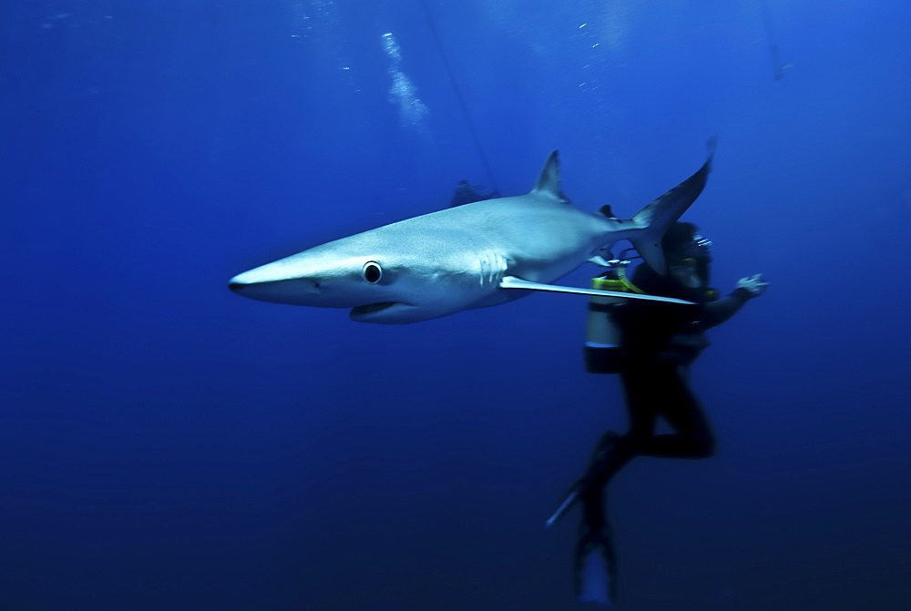 Blue shark (Prionace glauca) in the Azores, Portugal, Atlantic, Europe - 978-450