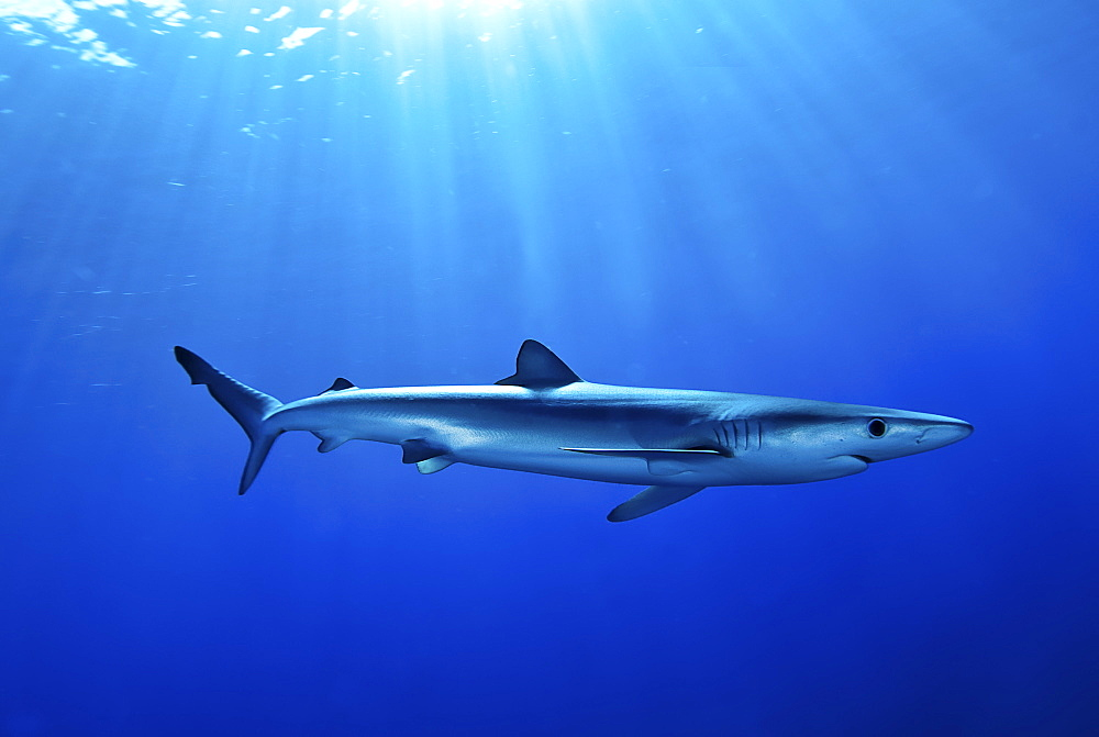 Blue shark (Prionace glauca) in the Azores, Portugal, Atlantic, Europe - 978-452