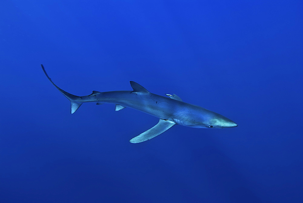 Blue shark (Prionace glauca) in the Azores, Portugal, Atlantic, Europe - 978-453